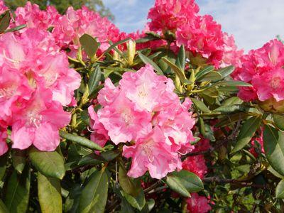 Rhodoblüte in Friedeburgs offenen Gärten