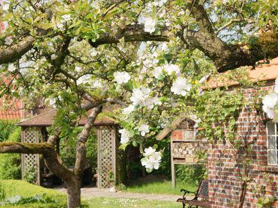 Kirschblüte im Bauerngarten in Friedeburg