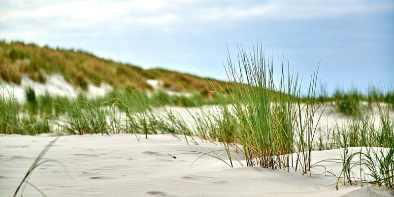 Nahaufnahme von Dünengras im Sand einer Düne auf Langeoog