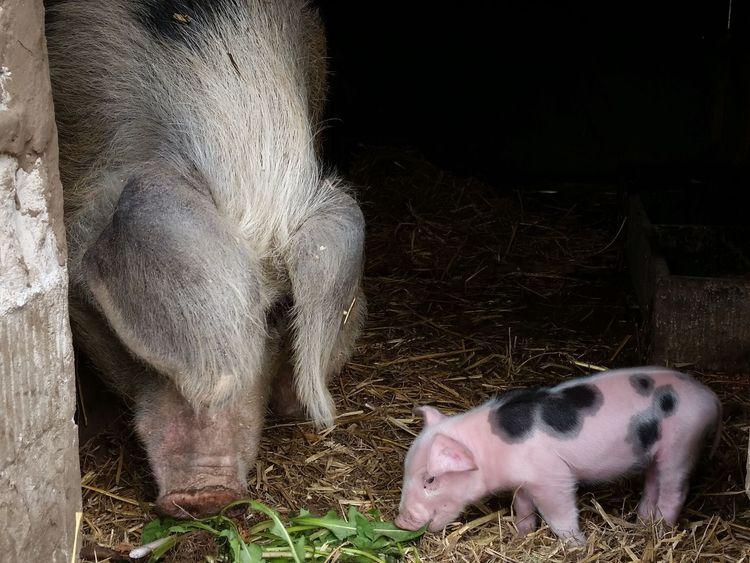 Schwein und Ferkel beim Hofladen in Friedeburg